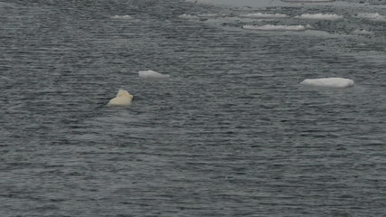 Polar bear swimming into the pack