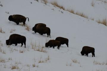 Bison herd in snow