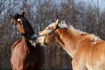 Pferd zieht am Halfter 2