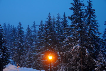 Snow-covered fir trees at night