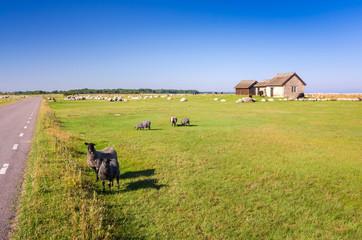 Sheep farm on Oland island
