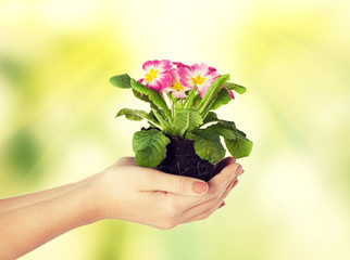 woman's hands holding flower in soil