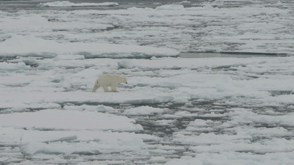 Polar bear moving on ice floes of the pack