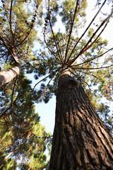 Mediterranean pine tree