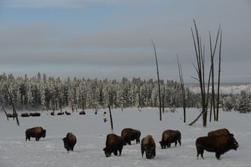 Bison herd in winter