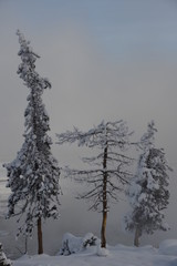 Snow-covered conifers