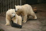 Two polar bear cubs (Ursus maritimus).