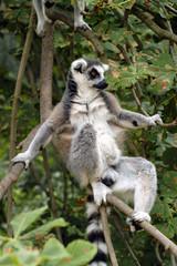 Ring-tailed lemur (Lemur catta). .