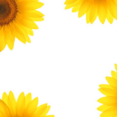 sunflower petals on a white background