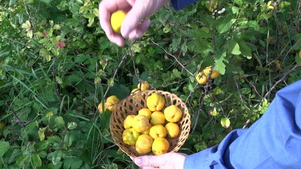 harvesting ripe yellow quince (Chaenomeles) fruits