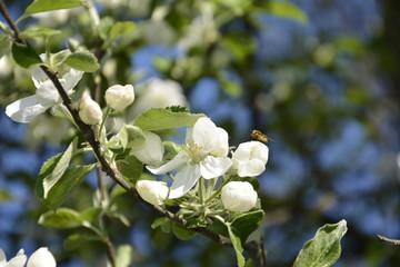 Blooming pear.