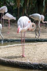 Pink flamingo closeup