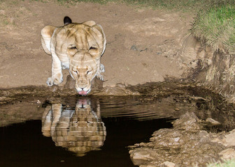Lioness Reflecting At The Pool