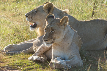 Lionesses Basking In The Sun