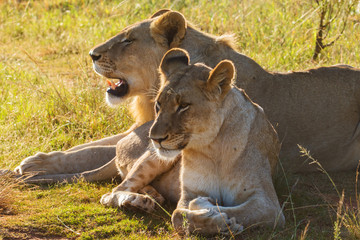 A Pair Of African Lions
