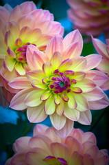 Dahlia Flower - Vibrant Colors