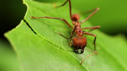 Leaf cutter ants (Atta sp.) in the rainforest, Ecuador
