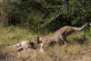 Cheetah Dragging His Kill