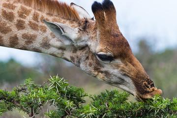 Giraffe (Giraffa camelopardalis) Feeding