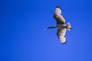 African Sacred Ibis (Threskiornis aethiopicus) In Flight