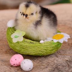 Little chicken in the nest.  Easter