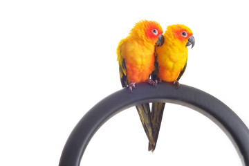 Isolated of lovely Sun Conure in pair