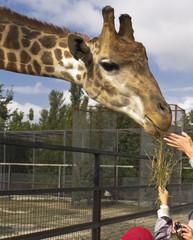 Safari Park. Food for a giraffe.