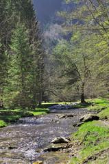 cours d'eau traversant une forêt de sapins