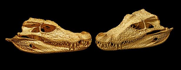 skulls of caiman - Paleosuchus palpebrosus