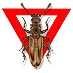 oryzaephilus surinamensis,Saw-toothed Grain Beetle