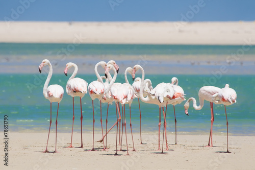 Fotobehang Flamingo Flock of flamingos wading in shallow lagoon water