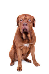Dog of Dogue De Bordeaux isolated on white