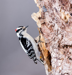 Male Downy Woodpecker in Winter