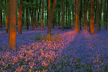 Sunset in a Bluebell Wood