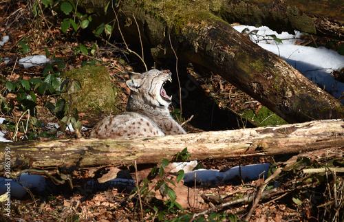Staande foto Lynx Luchs gähnt