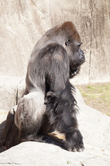 Profile of a Gorilla