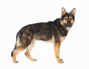 stehender Schaeferhund