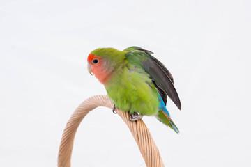 oiseau inséparable roséicolis qui s'étire - lovebird