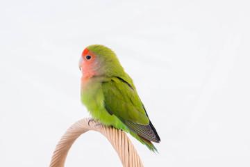 oiseau inséparable roséicolis de profil - lovebird