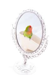 oiseau inséparable roséicolis  dans un miroir - lovebird