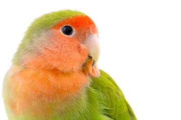 portrait d'un oiseau inséparable - Lovebird