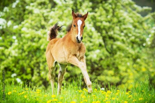 In de dag Paarden Araber Fohlen in Bewegung