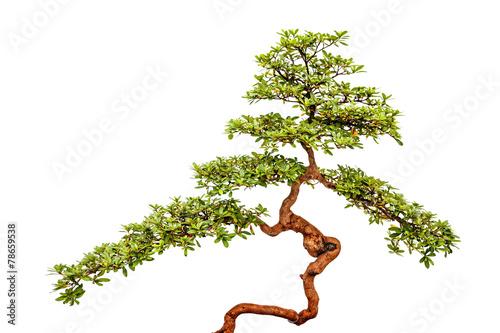 Plexiglas Bonsai Bonsai tree on white background