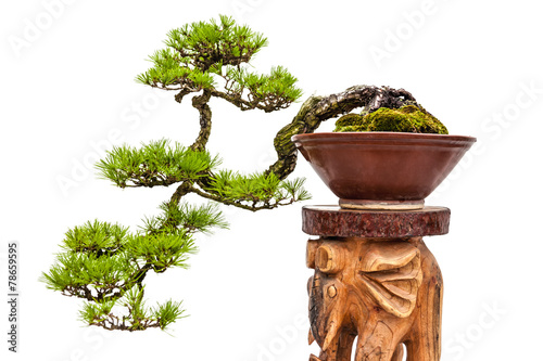 Foto op Canvas Bonsai Bonsai pine tree in ceramic pot