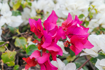 Pink and White blooming bougainvilleas, Sharm el Sheikh, Egypt.