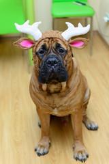 bullmastiff dog in hat