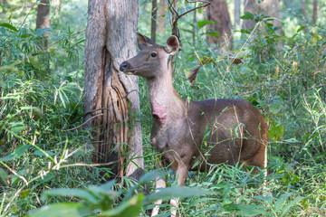 Sambar deer on a sunny day