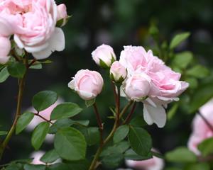 Garden pink romantic roses