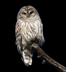 Barred Owl in Winter on Black Background