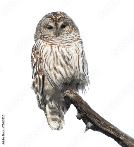 Deurstickers Uil Barred Owl in Winter on White Background